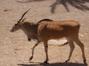 Oasis Fuerteventura Park - antilope