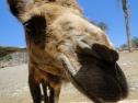 Oasis Fuerteventura Park - cammello
