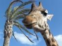 Oasis Fuerteventura Park - giraffe