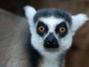 Oasis Fuerteventura Park - lemure