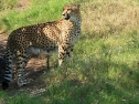 Oasis Fuerteventura Park - leopardo