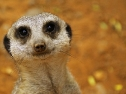 Oasis Fuerteventura Park - suricato
