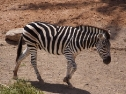 Oasis Fuerteventura Park - zebra